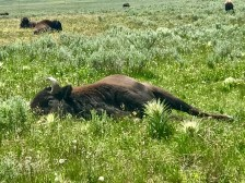 A bison taking a nap