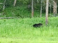 The first black bear