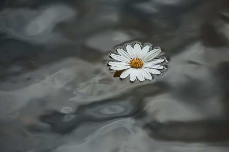 closeup of daisy floating in the water