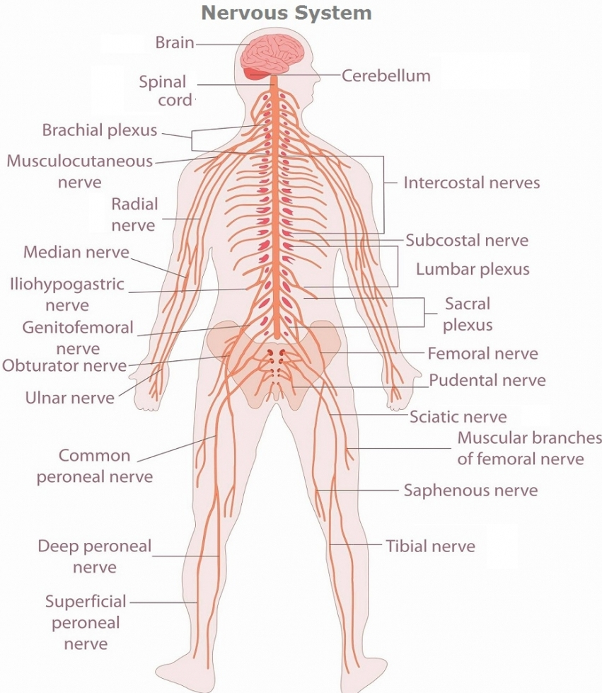 hight resolution of diagram of nerve system