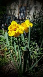 Happy Daffodils - March 19, 2016