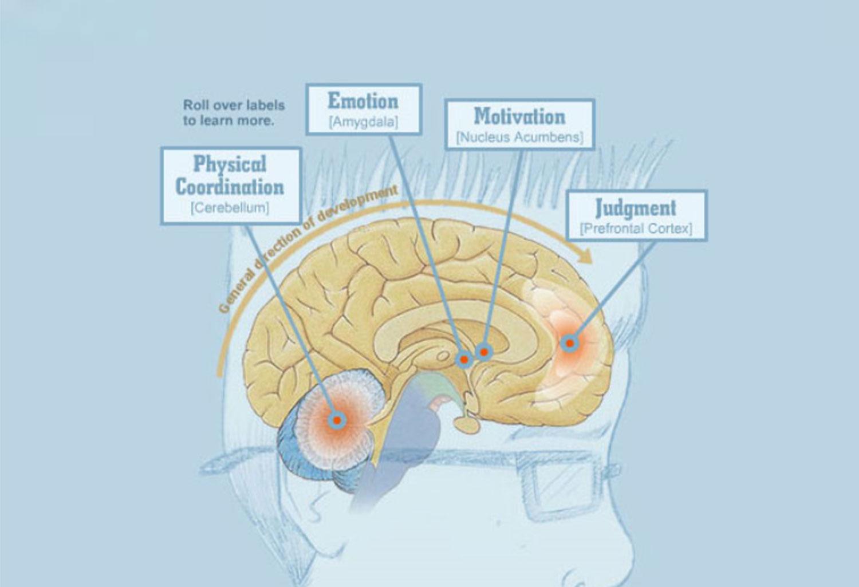 Brain Development Teen Behavior And Preventing Drug Use