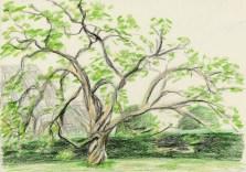 heather tree sketch 2004?