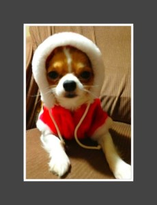Chihuahua in a Santa Suit