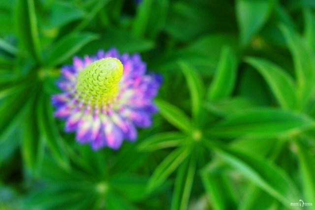 Макросъёмка цветов. Волчьи бобы. Цветы Ленинградской области