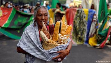 Photo of Más de 200 grupos ecologistas piden a López Obrador prohibir maíz transgénico