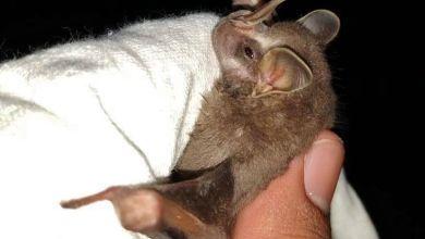 Photo of Detectan en Cozumel presencia de especie de murciélago endémico de Cuba