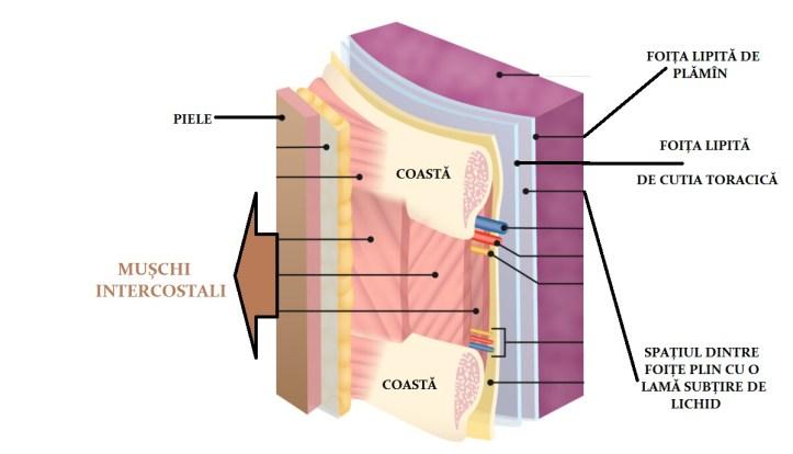 perete toracic cu foițele pleurei prinse de plamin și torace explicînd cauzele sufocării