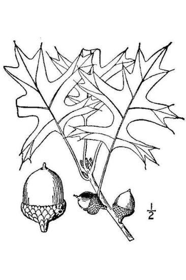 Quercus palustris Münchh.