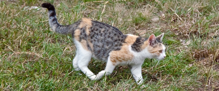 Feral Cat Fridays: Calico Cody Comes Calling
