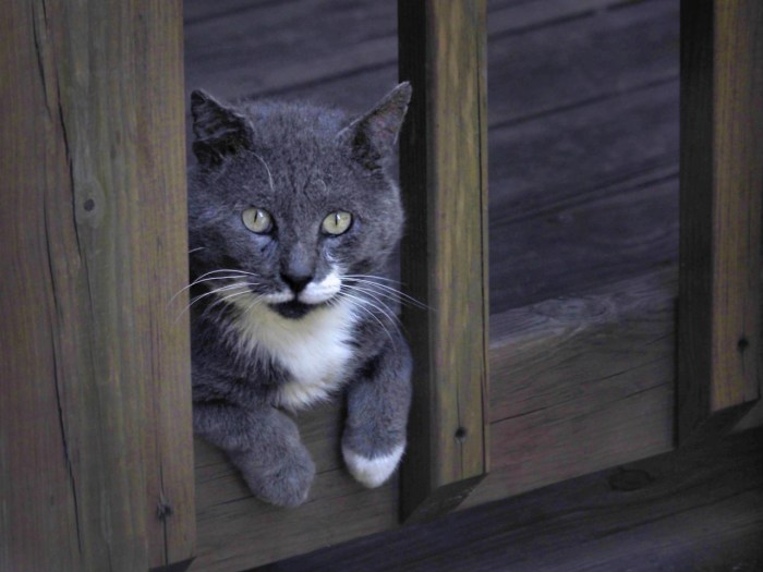 Feral cat looks out through deck railing