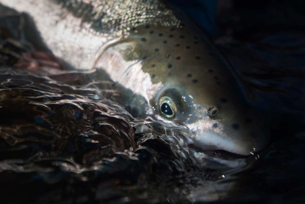 eye of the steelhead