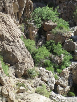 a solitary Dasylirion wheeleri where the arroyo drops off, Prosopis, too