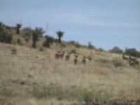 desert bighorn sheep in the desert grassland