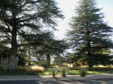 almost dreamy - a large-lot oasis of conifers (Deodar Cedar), tan grasses, a trio of parkway palmillas, and green lawn