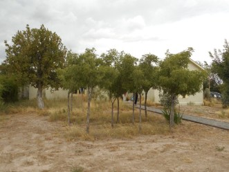 Tour home - could this Soapberry thicket benefit from water harvesting?