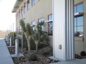 a well-known Mojave resident...not Wayne Newton...a compact variety of Joshua Tree / Yucca brevifolia var. jaegeriana