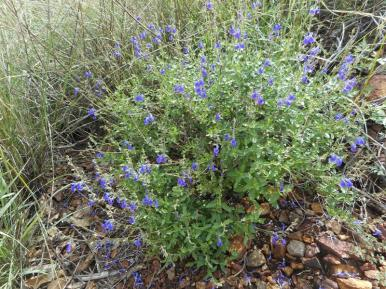 Salvia lycoides / Canyon Sage (must have)