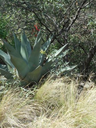agaves and grasses
