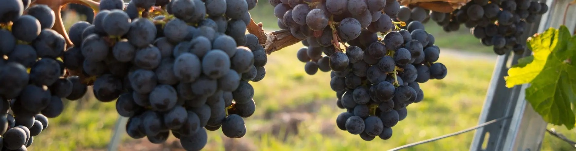 Petit Verdot red grapes and vines