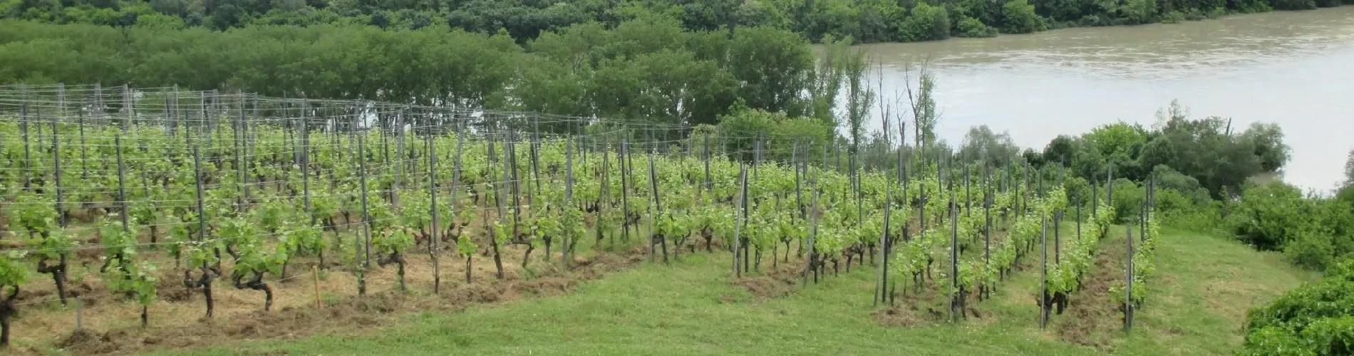 Rhone Valley vines