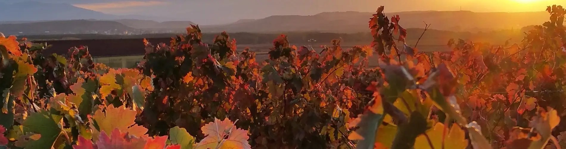 Spanish vines