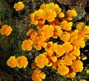 Escholzia californica maritima, coastal Cal poppy