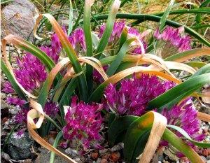 Allium falcifolium