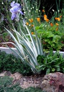 variegated iris, creeping thyme, calendula, alpine strawberry, california poppy