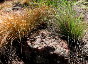 Carex testacea and Festuca californica