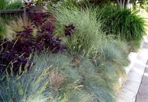 smokebush and grasses