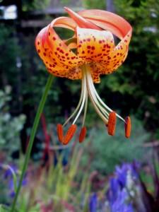 Panther lily, Lilium pardalinum ssp. pardalinum