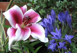 Lily and Brodiaea