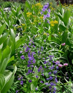 Larkspur, Allium, Senecio, and Corn Lily