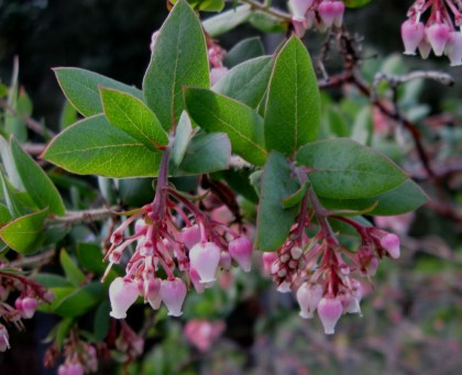 Arctostaphylos pajaroensis Paradise flowers