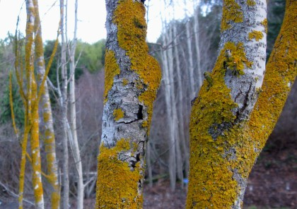 Lichen on the Aspens