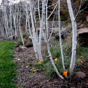 Aspens with California Poppy