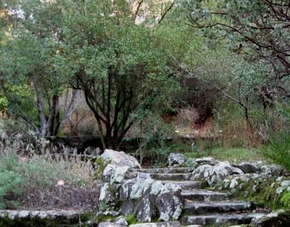 Greenbark Ceanothus, Ceanothus spinosus