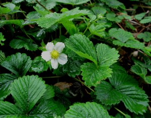 Woodland Strawberry, Fragaria vesca
