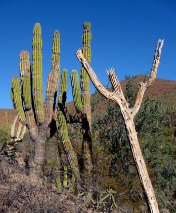 Cardon Cactuses