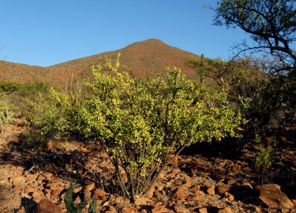 Limberbush, Jatropha cuneata