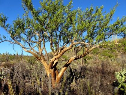 Elephant Tree, Bursera microphylla
