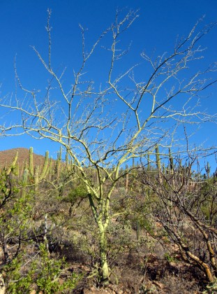 Palo Verde, Cercidium floridum
