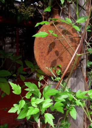 Clematis ligusticifolia, Virgins Bower