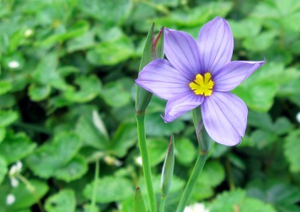 Blue Eyed Grass, Sisyrinchium bellum