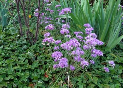 Allium, Fragaria, and Iris