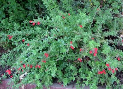 Galvezia speciosa, Island Snapdragon