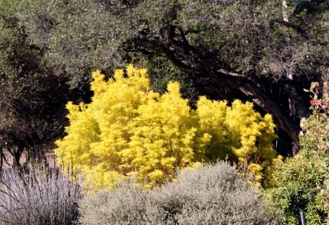 Leucadendroneucalyptifolium