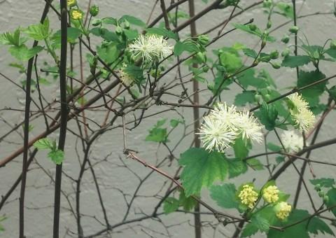 NeviusiacliftoniiFlower