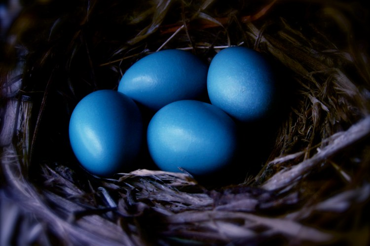Vincent Perrone, Robin Eggs. Used under a CC-BY-NC license.